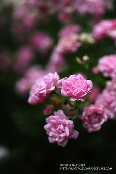 Bonica Floribunda Rose