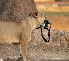 Прекрасный блог-для прекрасных людей! Do you mind if I borrow this camera? by Ed Hetherington  This lioness borrowed my camera when I left it on a remote stand near a kill trying to photograph vultures fighting.    We thought that she had abandoned the kill..... Near Mana Pools, Zimbabwe See more work here:  http://www.facebook.com/ed