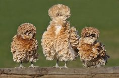 Three frizzle chickens Chickens For Sale, Fancy Chickens, Types Of Chickens, Chickens And Roosters, Pet Chickens, Raising Chickens, Chickens Backyard, Bantam Chickens, Polish Frizzle Chicken