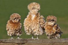 Three frizzle chickens