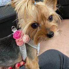 Teacup Harness for 2 Lb Puppy Dog, XXS Gray Cotton Vest w/Pink Rose/Rosettes Dog Carrier Purse, Dog Purse, Teacup Yorkie, Yorkie Puppy, Crochet Dog Clothes, Teacup Breeds, Tiny Puppies, Cotton Vest, Rosettes