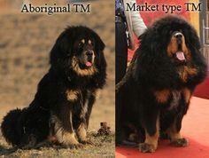 #tibetan mastiff #tibetan dogs