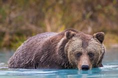 Eyes of a Brown Bear Wildlife Photography Fine Art by RobsWildlife