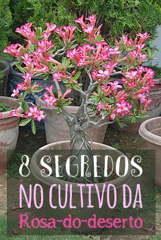 8 Segredos no Cultivo da Rosa-do-deserto (Adenium Foto de 澎湖小雲雀 Garden Art, Garden Plants, House Plants, Wisteria Bonsai, Bougainvillea Tree, Plantas Bonsai, Plants Are Friends, Cactus Y Suculentas, Desert Rose