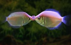 Yes-Kissing gouramis (Helostoma temminckii) are tropical fish that are commonly found in aquariums. They are known for their protruding lips, which often makes them appear as though they are blowing kisses in the water. It is not uncommon for two fish to lock lips as a display of territorial boundaries.