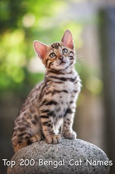 Jan 2020 - Over 200 of the best Bengal Cat Names. Including famous, cool and funny names, for male and female cats. Find the perfect name for your Bengal kitten. Bengal Cat Names, Tabby Cat Names, Bengal Kitten, Siamese Cats, Funny Cat Names, Cute Cat Names, Unique Cat Names, Unique Cats, Fun Facts About Cats