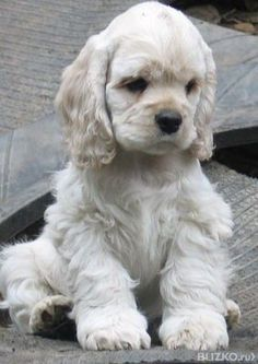 Cocker Spaniel puppy cutie pie