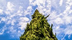 Fir Tree Rising Up in The Sky - From our 2-day tour in Los Angeles https://friendlylocalguides.com/los-angeles/tours/2-days-in-los-angeles #fir #tree #rise #up #sky #clouds #green #blue #summer #summer-time #los-angeles #california #nature #nook #california #ca #visit #usa #city #friendlylocalguides