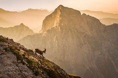 Alpine ibex by pisk78 - sunrisemountainsrocksalpssloveniajulian alpsibexalpine ibexmangartjalovec