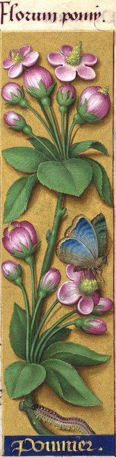 Ponmier - Florum pomy (Malus communis Lam. = fleurs rosées de pommier) -- Grandes Heures d'Anne de Bretagne, BNF, Ms Latin 9474, 1503-1508, f°30r