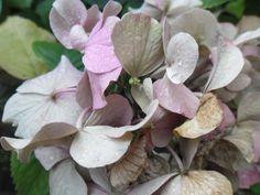 hortensia in de achtertuin (1) Plants, Photos, Plant, Planting, Planets