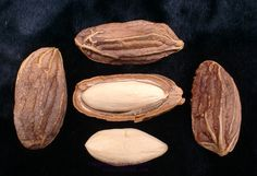 Paradise Nut: Rare Fruit Seeds and Exotic Tropical Fruit Seeds
