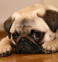 So cute! When I get a pug, I am planning to name my dog: Batman (boy) or Porsche (girl)!