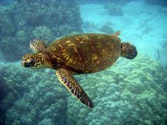 Green sea turtle swimming underwater in Honaunau Bay near Keoneele Cove Hawaii