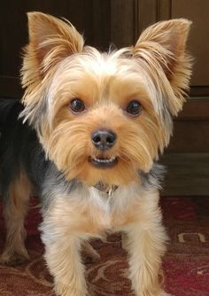 """Receive great ideas on """"yorkshire terrier puppies"""". Yorkie Terrier, Yorkie Puppy, Terrier Dogs, Yorkshire Terriers, Yorkshire Terrier Haircut, Boston Terriers, Cairn Terriers, Scottish Terriers, Yorkie Cuts"""