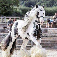 The Best horses on the world 🤞Irish-cob Majestic Horse, Majestic Animals, Cute Horses, Horse Love, Horse Pictures, Animal Pictures, Funny Horse Pics, Pictures Images, Beautiful Creatures