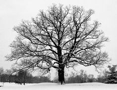 Some Oaks in the Snow » Kurt M Lawson Photography