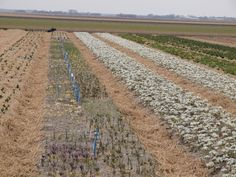 Reticulata Iris under test in Holland. 'Eye Catcher' at the right Bulb Flowers, Catcher, Bulbs, Iris, Holland, Vineyard, Outdoor, Outdoors, Vine Yard