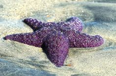 18 Mind blowing STARFISH PHOTOS and FACTS...couldnt decide whether to put on purple board or sea board lol