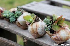 mini gardens: snail shell planters for succulents. so neat! Diy Planters, Garden Planters, Succulents Garden, Tall Planters, Planter Ideas, Garden Boxes, Diy Garden, Lawn And Garden, Indoor Garden