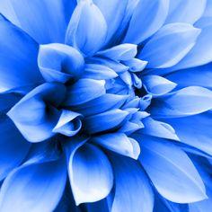 Navy blue Dahlias