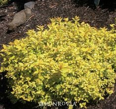 Monrovia's Lemon Princess Japanese Spirea details and information. Learn more about Monrovia plants and best practices for best possible plant performance.