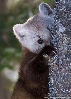 Pine Marten by Marc Latremouille - Animals Animal 2, Mundo Animal, Cute Baby Animals, Animals And Pets, Beautiful Creatures, Animals Beautiful, Sean Parker, Pine Marten, Little Critter