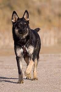 lapponian herder - Yahoo Zoekresultaten van afbeeldingen