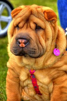 Shar Pei, it's too cute for words