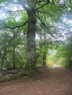 Love this tree and the light coming through in a wood on Dartmoor
