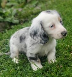 Mini Puppies, Cute Dogs And Puppies, Puppies For Sale, Miniature Dachshund Breeders, Lancaster Puppies, Dapple Dachshund, Cute Funny Animals, Lovers