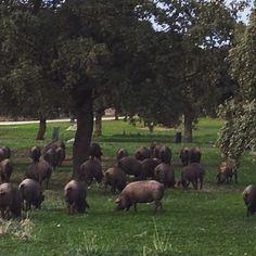 Cerdos ibéricos en montanera #Dehesa #LosPedroches #Córdoba www.cortijosydehesa.com