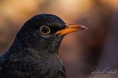 Amsel - Diese Amsel war sehr Interessiert an mir und ich konnte die Aufnahme aus kurzer Distanz machen. This blackbird was very interested in me and I was able to take the picture from a short distance.
