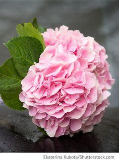 Brautstrauß, rosa Hortensien Blumenstrauß für russische Hochzeiten