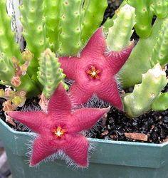 Rare Stapelia Scitula - Mini Starfish Flower- Unusual Succulent Plant via Etsy
