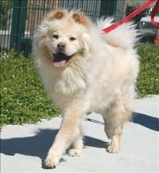 Mr. Chow is an adoptable Chow Chow Dog in Milpitas, CA. Aloof. Regal. Wary. Handsome. Teddy Bear 'like'. These are some key words to describe me. To be honest I am not for just anyone - I am Mr. Chow ...