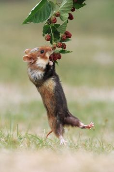 beautiful-wildlife:  AcrobatbyJulian Rad European Hamster with Berries