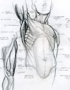 Figure Drawing Tutorial anatomy by Tolomuco on DeviantArt - Human Figure Drawing, Figure Drawing Reference, Anatomy Reference, Art Reference Poses, Life Drawing, Human Reference, Anatomy Sketches, Body Sketches, Art Sketches