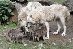 White Canadian Wolf pups at Berlin Zoo