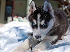 husky with fierce blue eyes <3