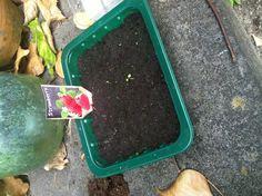 Bij de aardbeien moet nog veel gebeuren!