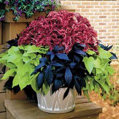 2 plants each of Coleus Red Ruffles, Sweet Potato Blackie, and Sweet Potato Margarite.