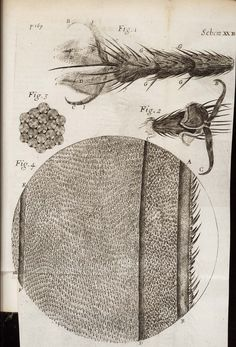 Robert Hooke  Observ. XXXVI. Of peacoks, ducks, and other feathers of changeable colours,