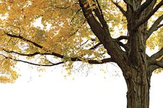Autumn Maple Tree - Wall Mural & Photo Wallpaper - Photowall