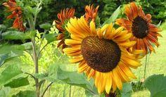 I've always loved sunflowers