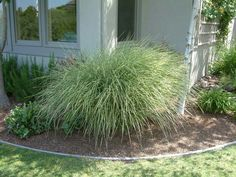 Plant photo of: Miscanthus sinensis 'Morning Light' Types Of Soil, Types Of Plants, Red Flowers, Colorful Flowers, Miscanthus Morning Light, Autumn Leaf Color, Plant Information, Sun And Water, Landscaping Plants