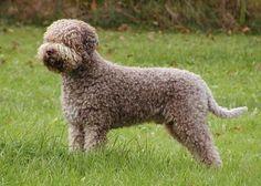 Cool Italian truffle hunting dog