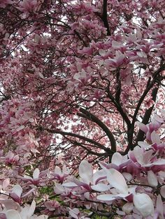 Really want several of these... Saucer Magnolia, Tulip Tree.... Found a great deal on Arbor Day Foundation website.