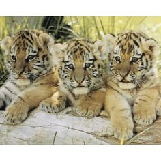 Three Tiger Cubs sweet baby faces