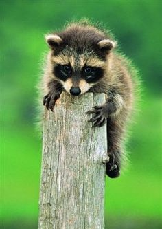 HOW CUTE IS THIS BABY RACCOON!?!? :D   find more photos like this at www.greenglobaltravel.com   llbwwb:Let me Down via:cutestpaw  Submit your Cute Pets today...